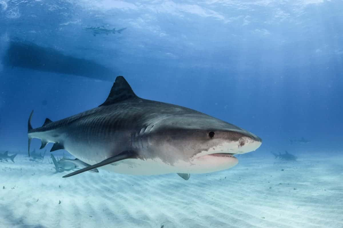 Does Surf Fishing Attract Shark?