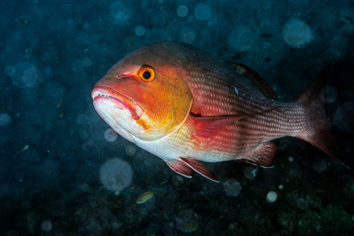 Can You Catch Red Snapper From The Shore?
