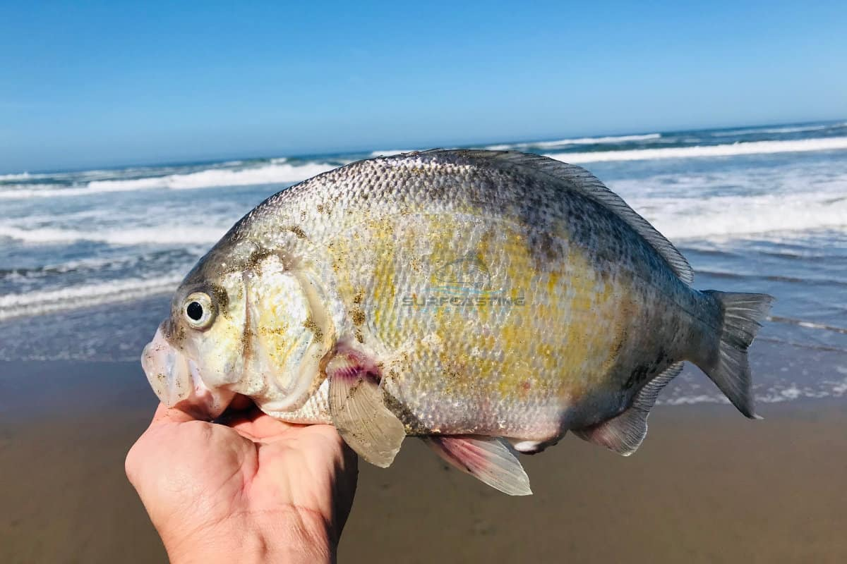 how to surf fish for surf perch? surf perch fishing 101
