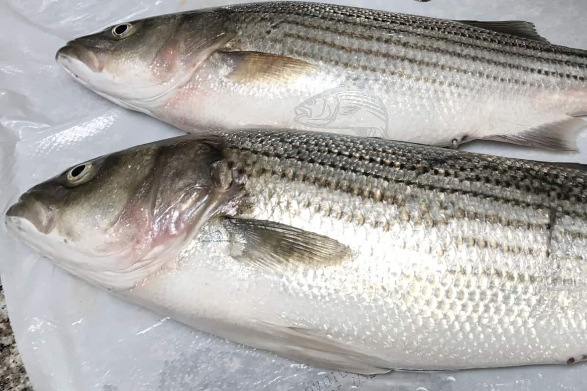 What's the Difference Between Female and Male Striped bass?
