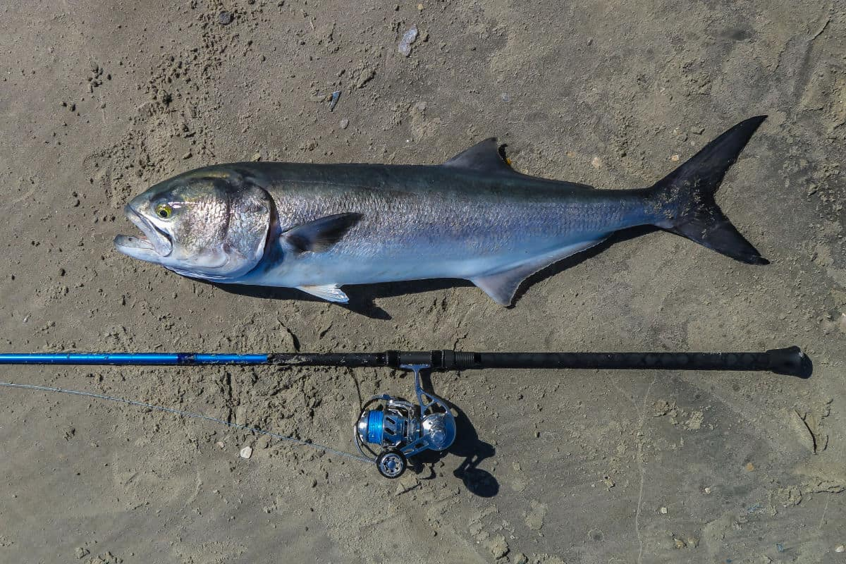 Surf Fishing For Bluefish: A Complete Guide