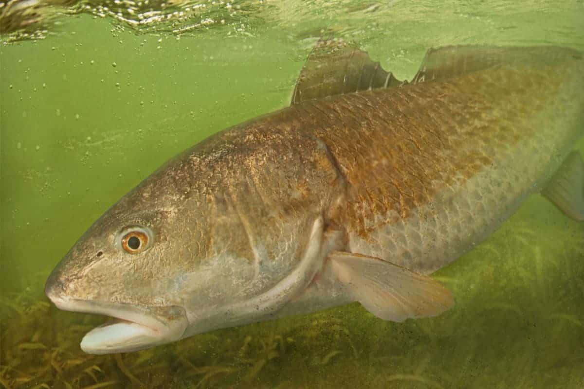 Red Drum Fishing